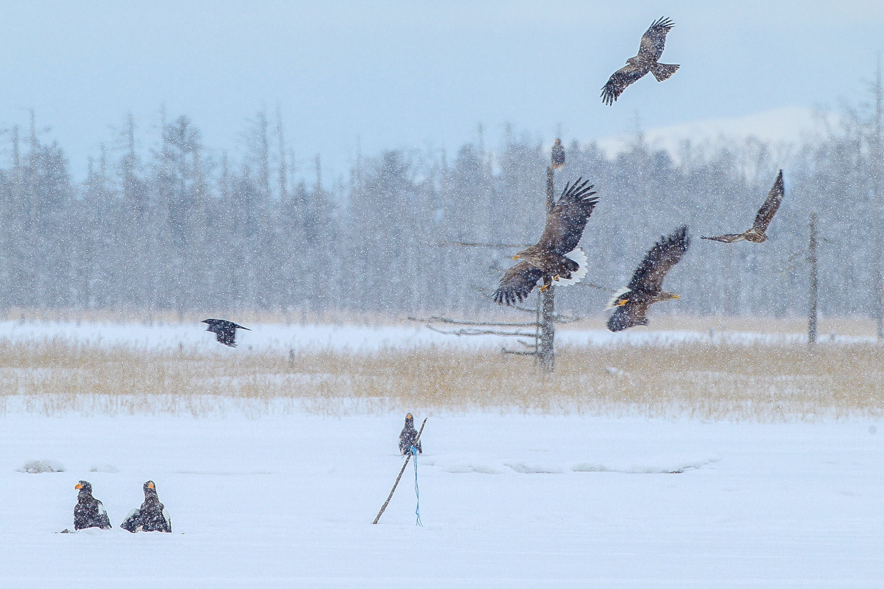 冬の北海道旅行 その9(風連湖の雪中の鷲達)_a0052080_17505101.jpg