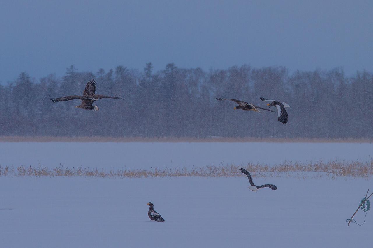 冬の北海道旅行 その9(風連湖の雪中の鷲達)_a0052080_21455669.jpg