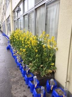 菜の花の咲く 杉並区西田小学校 _e0088256_17211702.jpg