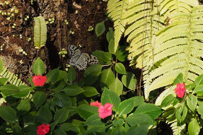 オオゴマダラ、朝の散歩_d0149245_10231567.jpg