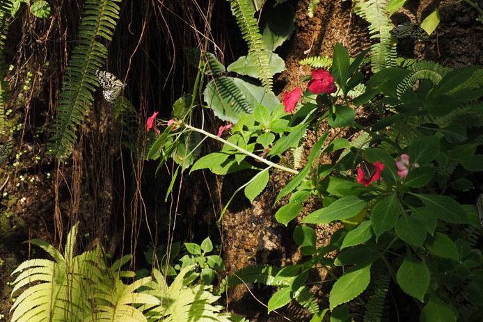 オオゴマダラ、朝の散歩_d0149245_10232754.jpg