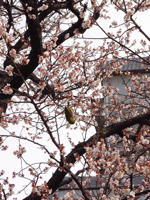 湯島天神 梅まつり(2017/2/10)_b0006870_20592821.jpg