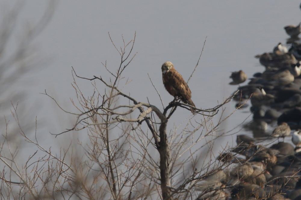 今日の鳥見(2017年2月14日)_f0235311_22151349.jpg
