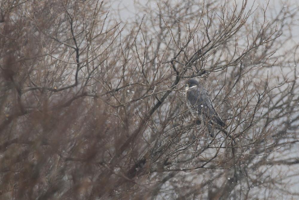 今日の鳥見(2017年2月14日)_f0235311_22200698.jpg