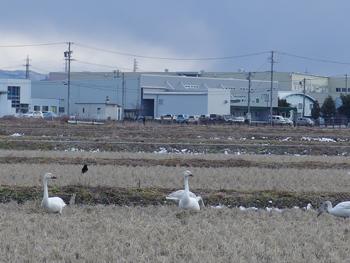 白い鳥_a0014840_2105874.jpg