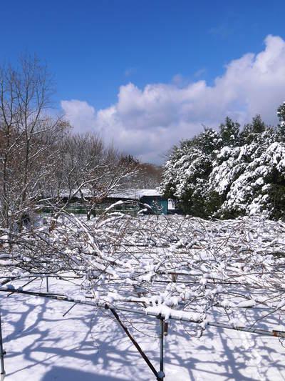 株式会社旬援隊の冬の様子 この冬、初の積雪(?)です!春の訪れが早いはずが…、果樹たちが心配です!_a0254656_181895.jpg
