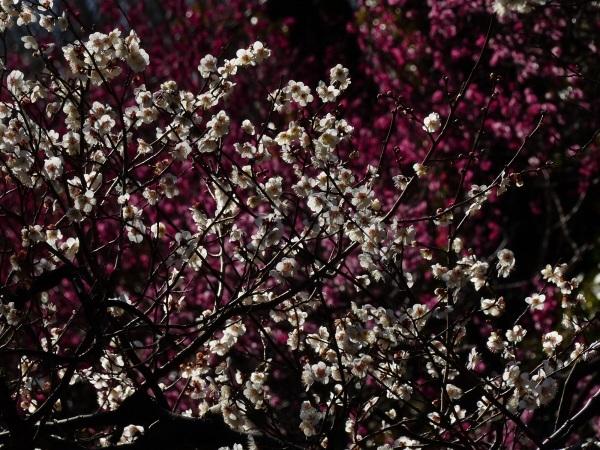 梅祭り_a0351368_21592598.jpg