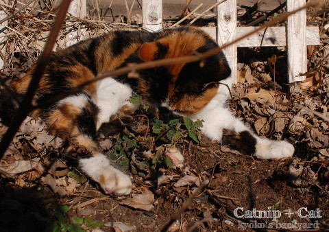 花壇の酔っ払い猫_b0253205_05273670.jpg