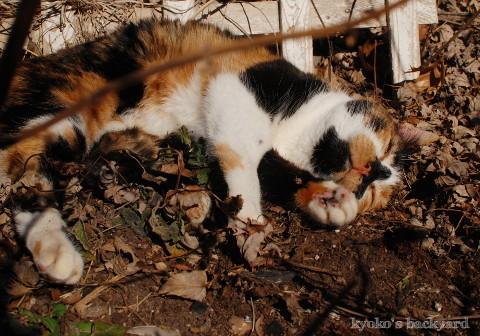 花壇の酔っ払い猫_b0253205_05282176.jpg