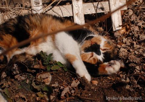 花壇の酔っ払い猫_b0253205_05290600.jpg