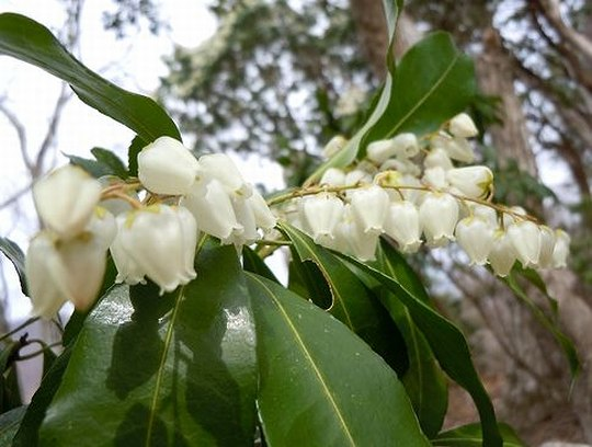 春の兆し、里は梅、山は馬酔木から_b0102572_14315117.jpg