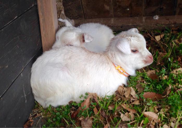 山羊、猫…_b0087077_12110823.jpg