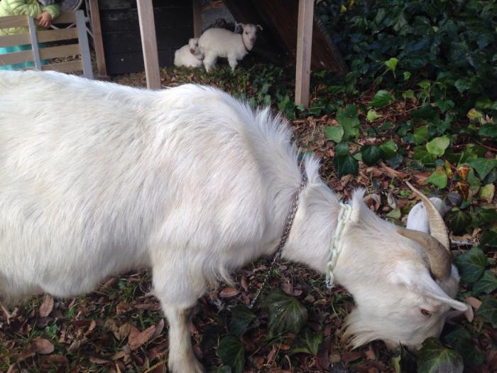 山羊、猫…_b0087077_12110919.jpg