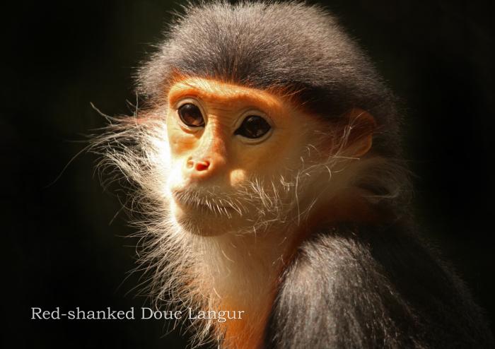 アカアシドゥクラングール:Red-shanked Douc Langur_b0249597_05121407.jpg