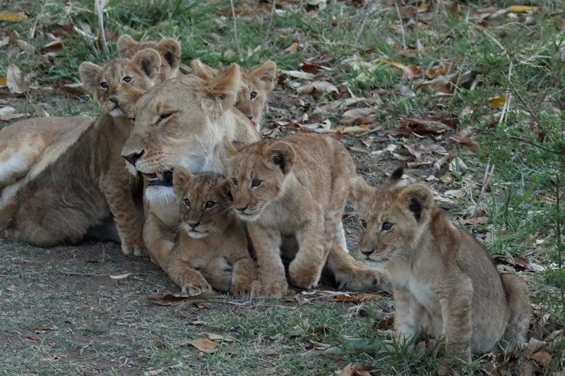 ライオン赤ちゃん、チーター、ライオン親子、そして豹(旅記録その9、2月17日のサファリ)_b0291402_00343856.jpg