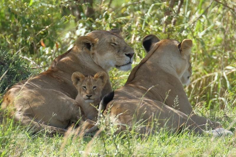 ライオン赤ちゃん、チーター、ライオン親子、そして豹(旅記録その9、2月17日のサファリ)_b0291402_00351851.jpg
