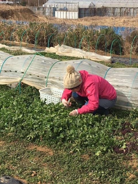 今朝はロマネスコ ブロッコリー 芽キャベツ ルッコラを中心に収穫 _c0222448_13310911.jpg