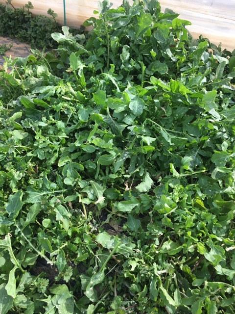 今朝はロマネスコ ブロッコリー 芽キャベツ ルッコラを中心に収穫 _c0222448_13374235.jpg