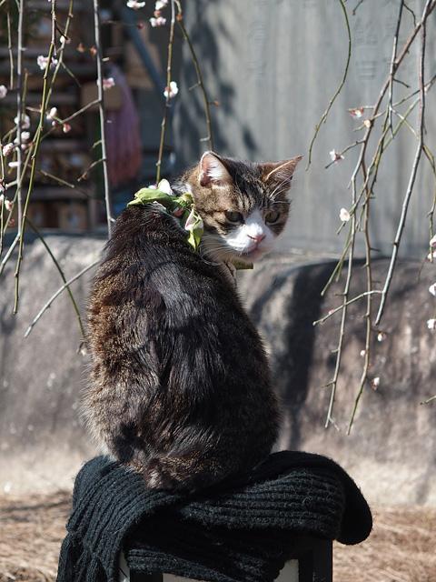 湯島天神 梅まつり & 落ちない猫(^^ (2017/2/16、17)_b0006870_920208.jpg