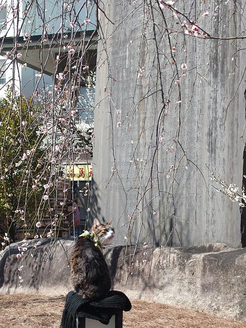湯島天神 梅まつり & 落ちない猫(^^ (2017/2/16、17)_b0006870_920415.jpg