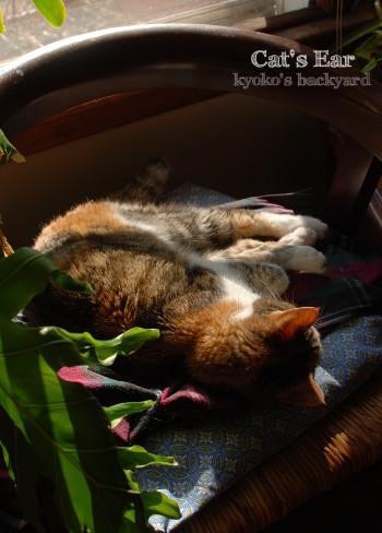 猫の耳を太陽に透かしてみれば_b0253205_11011850.jpg