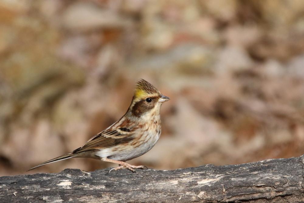 今日の鳥見(2017年2月19日)_f0235311_21001719.jpg