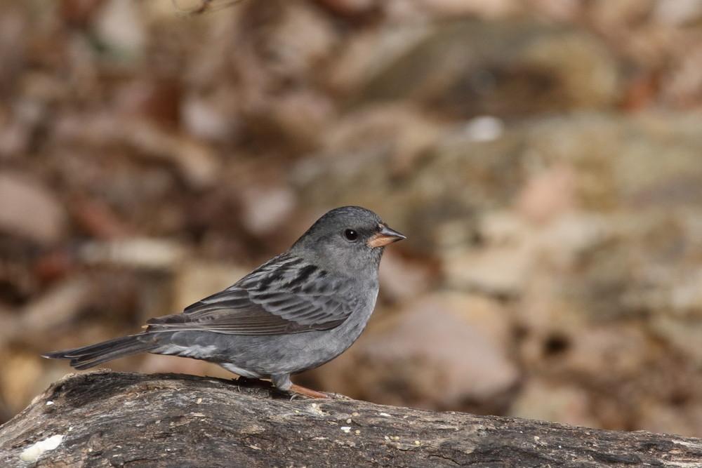 今日の鳥見(2017年2月19日)_f0235311_21013950.jpg