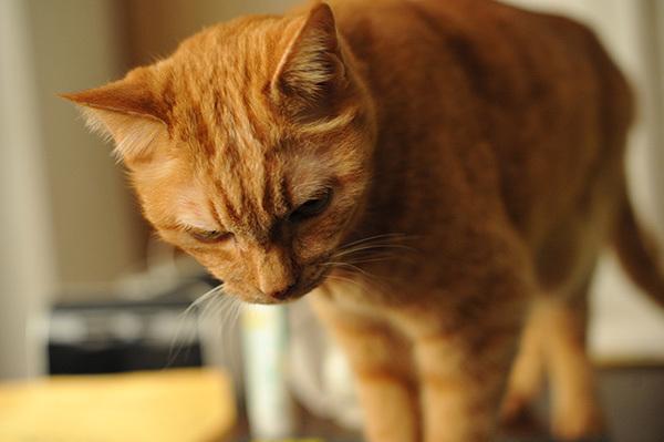 あまあまさん&大佛(おさらぎ)次郎(じろう)×ねこ写真展2017「猫は、生涯の伴侶」~大佛次郎は猫を愛した作家でした~ 2月22日~3月20日まで_b0162726_22254350.jpg