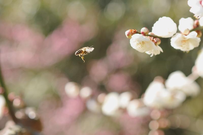 梅とミツバチ♪_c0334250_21374492.jpg