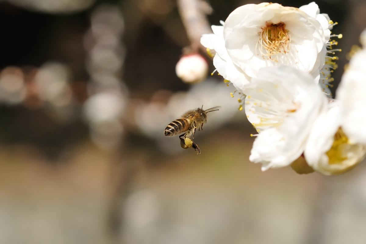 梅とミツバチ♪_c0334250_21400559.jpg