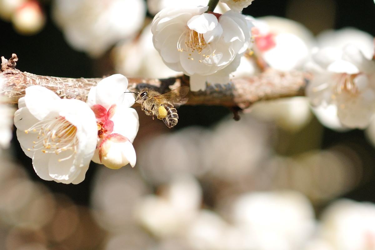梅とミツバチ♪_c0334250_21414304.jpg