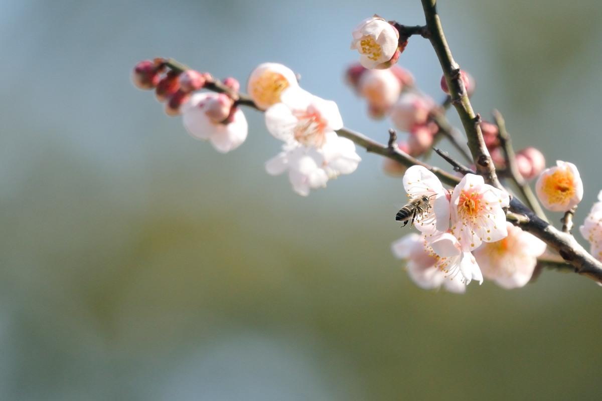 梅とミツバチ♪_c0334250_21423101.jpg