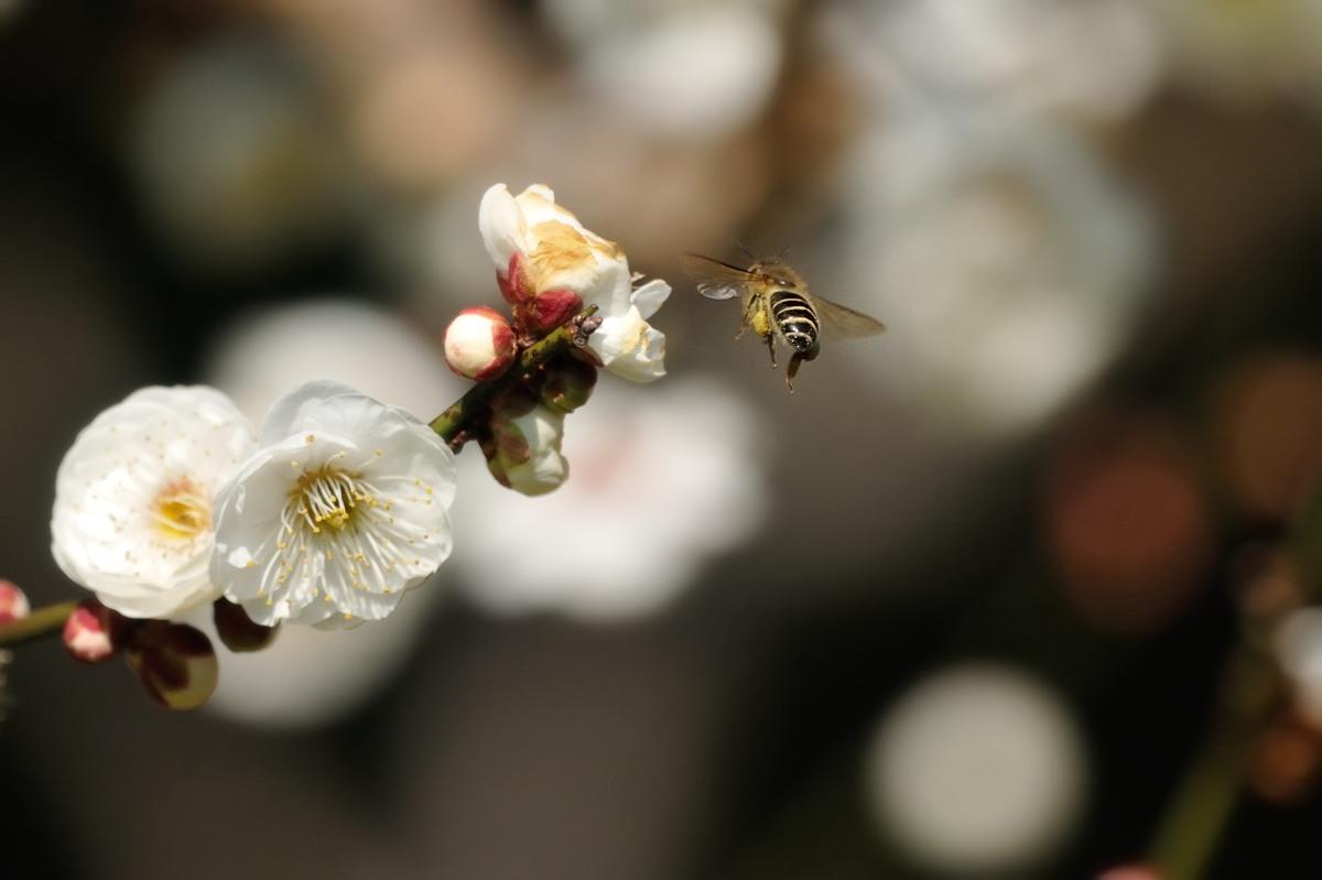 梅とミツバチ♪_c0334250_21435981.jpg