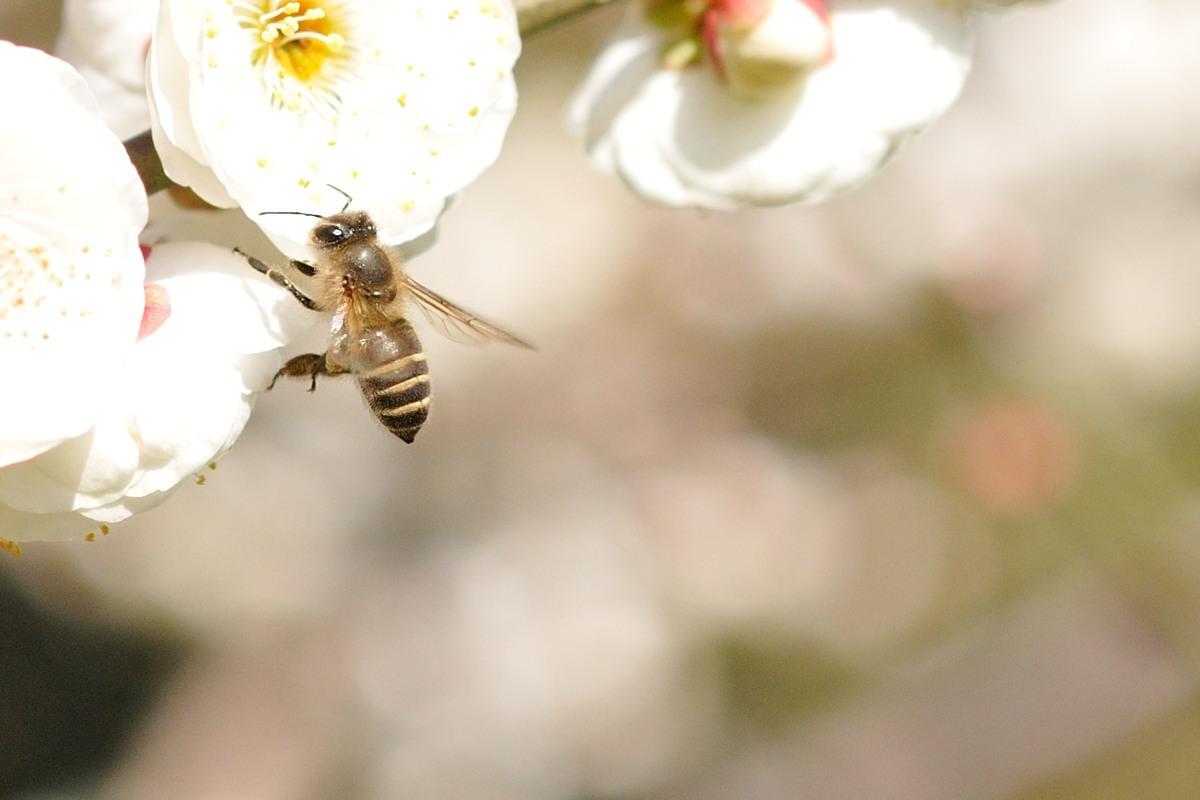 梅とミツバチ♪_c0334250_22563940.jpg