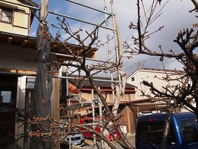 桜のつぼみ_e0010955_21305547.jpg