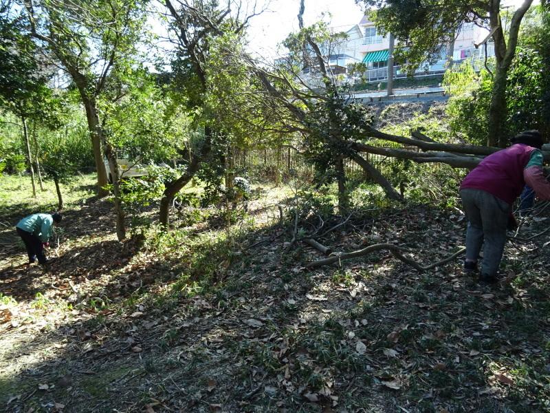 椿林の枯れ木伐採・・・うみべの森_c0108460_17515748.jpg