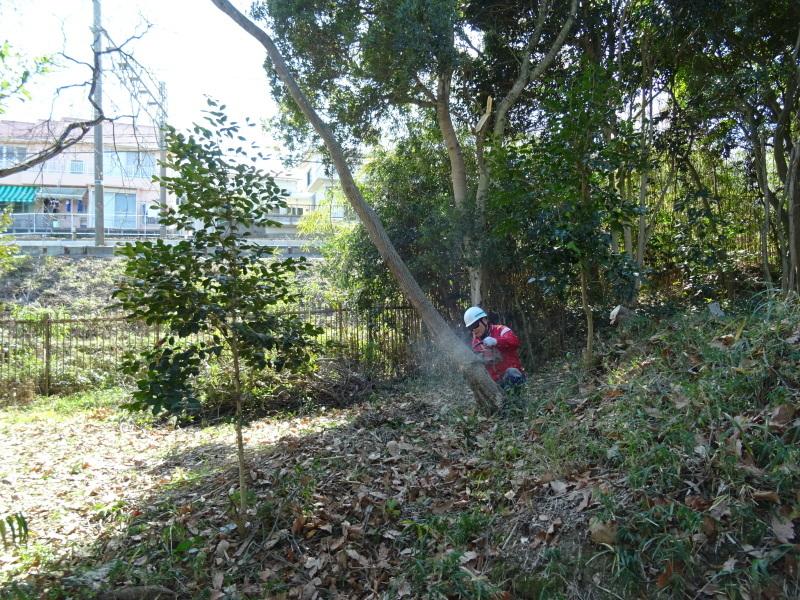 椿林の枯れ木伐採・・・うみべの森_c0108460_17560839.jpg