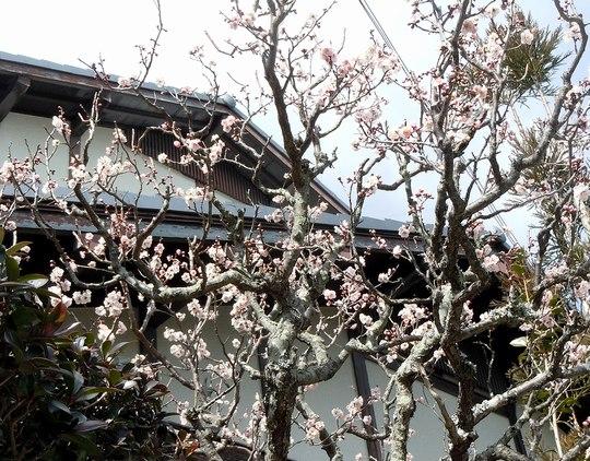 路傍の花、樹々の鳥(145) ~ 梅、水仙、春一番、そして花粉症 ~ _b0102572_1752232.jpg