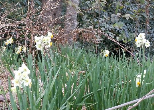 路傍の花、樹々の鳥(145) ~ 梅、水仙、春一番、そして花粉症 ~ _b0102572_17533369.jpg