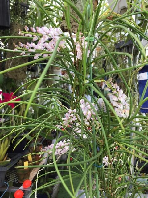 Schoenorchis juncifolia(ショエノルキス・ジュンシ フォリア)_d0007501_07284242.jpg