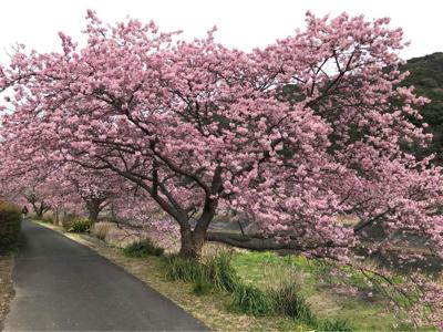 河津桜でお花見_b0107003_19580438.jpg