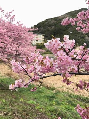 河津桜でお花見_b0107003_19580479.jpg