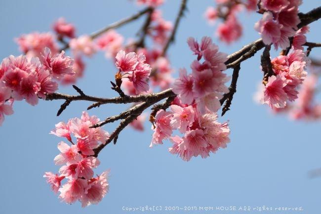 いちばん桜 ✿ 月曜鮭弁&白いんげん豆とチキンのカレー(๑¯﹃¯๑)♪_c0139375_943460.jpg