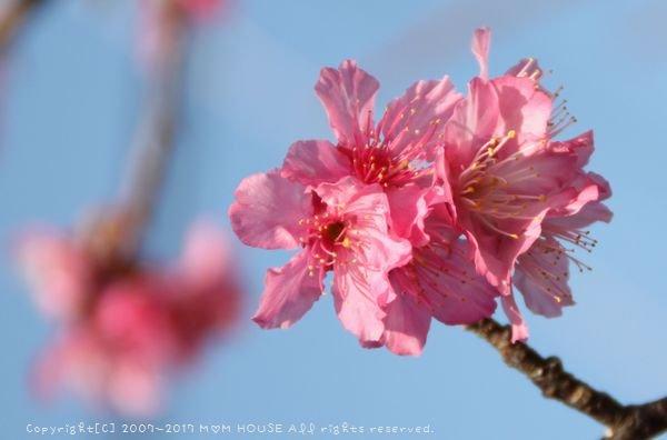いちばん桜 ✿ 月曜鮭弁&白いんげん豆とチキンのカレー(๑¯﹃¯๑)♪_c0139375_945285.jpg