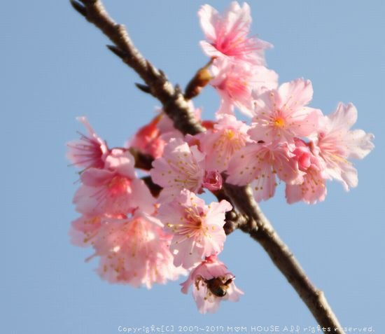 いちばん桜 ✿ 月曜鮭弁&白いんげん豆とチキンのカレー(๑¯﹃¯๑)♪_c0139375_9544.jpg