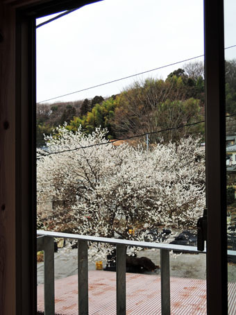 稲田堤の家の窓から見える梅の花_c0195909_11350534.jpg