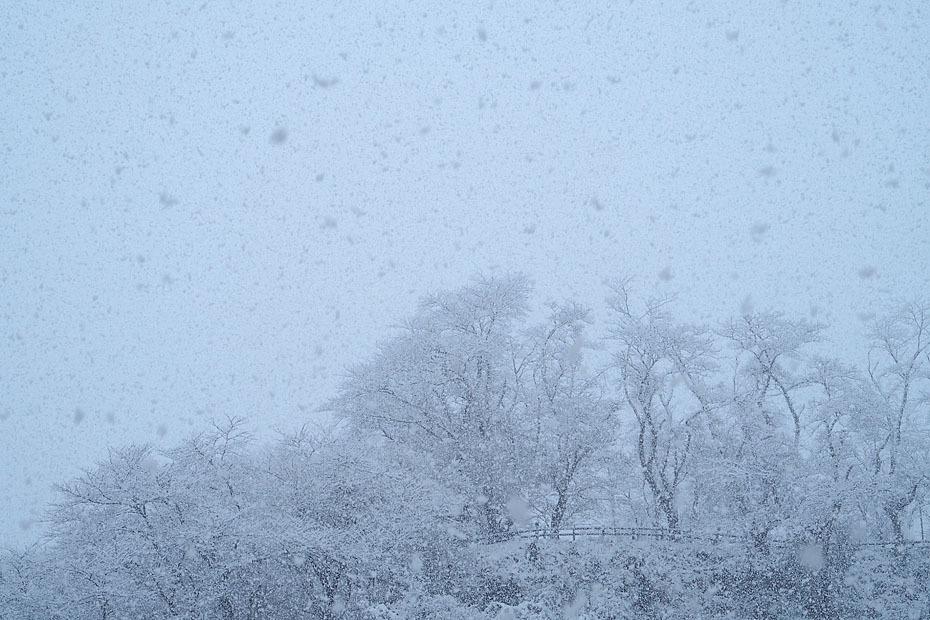 雪の桜並木_c0067040_22402578.jpg
