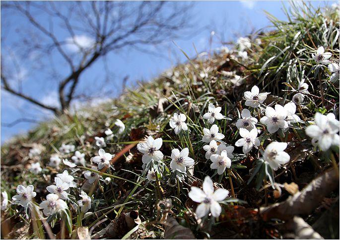 春の妖精 節分草 ②_a0256349_22425140.jpg