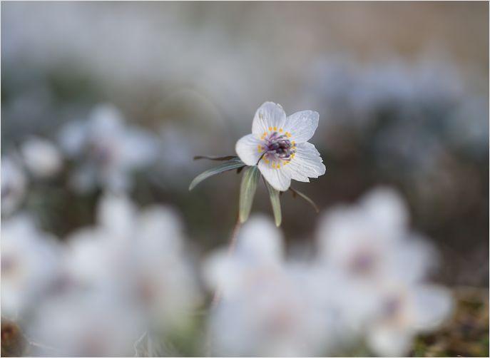 春の妖精 節分草 ①_a0256349_22464331.jpg