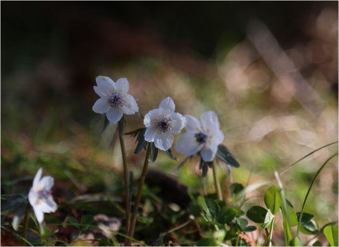 春の妖精 節分草 ①_a0256349_22471138.jpg